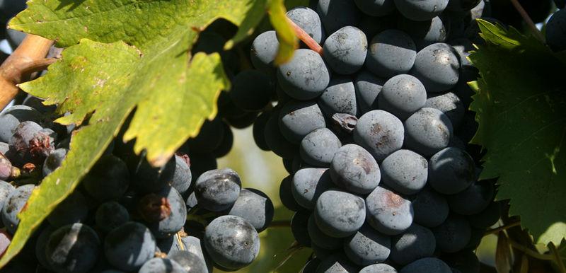Vineyardsml