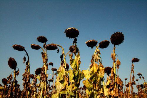 Sunflower2sml