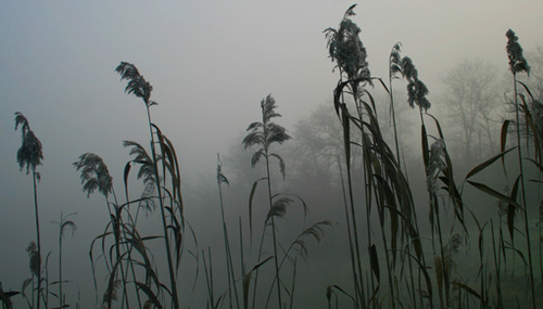 Foggyreeds